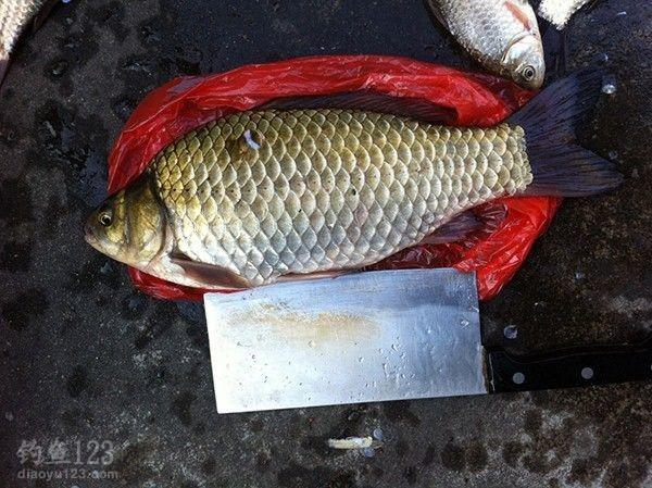 冬季釣野生大鯽魚