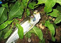 铅头钩卷尾钓组路亚10余尾大翘嘴