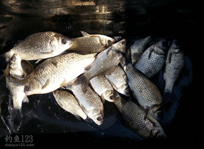 春釣淺灘得趕早的魚獲