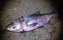 湘江垂钓六尾鳙鱼总重80斤