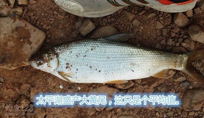 太平湖钓黄尾鱼