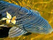 分享鲫鱼和鲤鱼产卵时的习性和垂钓方法