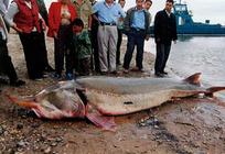 史上罕见!黑龙江渔民捕获900斤超大鳇鱼
