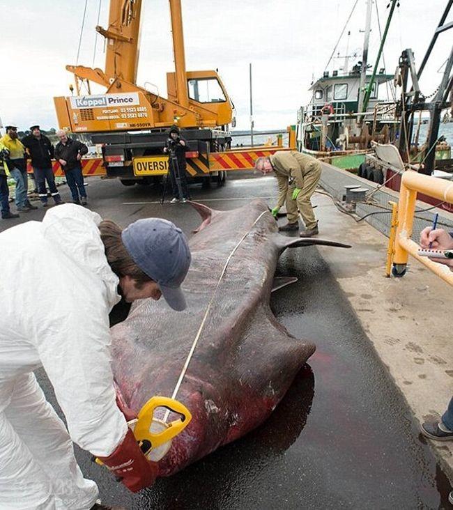 澳洲渔民捕获罕见3吨巨型鲨鱼(姥鲨)为濒临物种