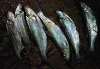 夜晚路亚翘嘴鲌鱼的拟饵选择