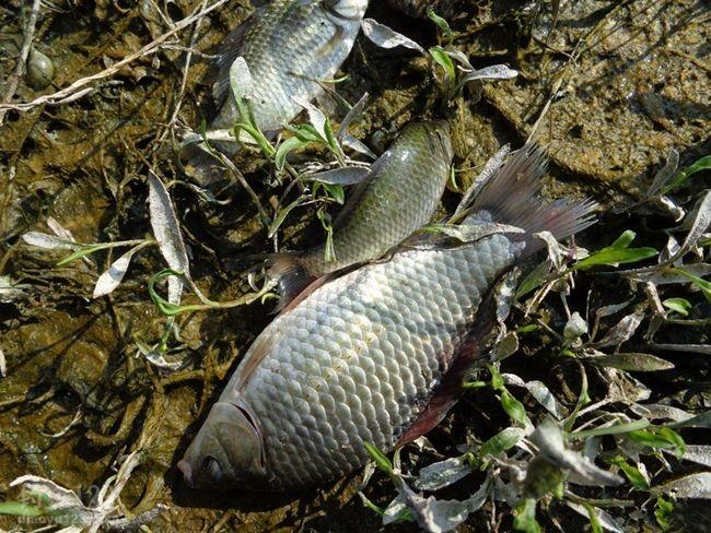 高温天气野河钓过大鲫鱼
