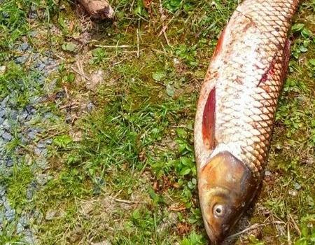 自然水域水库寻草,鲫草通吃。! 自制饵料钓鳊鱼