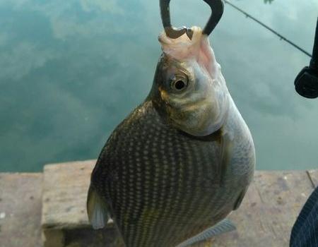 被毒解毒,我的第一次筏钓 自制饵料钓鳊鱼