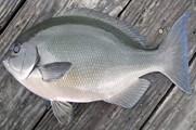 適合磯釣的海洋中層對象魚簡介