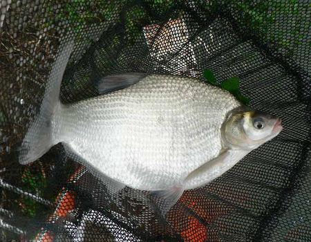 秋季风雨天野湖爽钓鳊鱼和翘嘴鱼