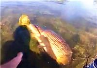 《垂钓对象鱼视频》水草丛中遛翻金黄大鲤鱼