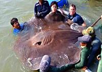 《钓鱼视频》湄公河钓获726斤世界最大淡水黄貂鱼