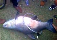 《垂钓对象鱼视频》水库博弈巨型青鱼