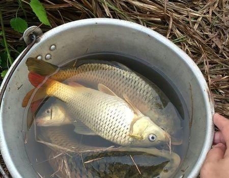 鲤鱼妹妹、终于连竿了。 自制饵料钓草鱼