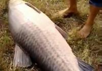 《水库钓鱼视频》 水库作钓收获巨型青鱼