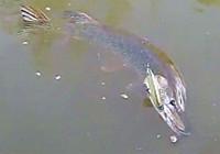 《路亚钓鱼视频》 男子路亚作钓斩获超大狗鱼