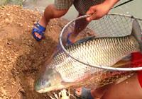 《垂钓对象鱼视频》 男子夏季水库钓获超大草鱼