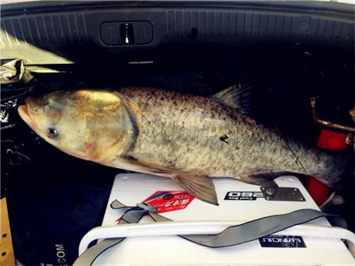 釣鰱鳙魚餌料