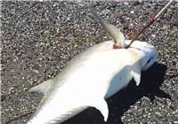 《海钓视频》 男子夏季海滩作钓收获牛港鲹