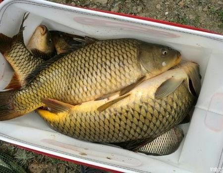 额尔齐斯河鲤鱼开口了,真正的自然河道,纯纯的野生鲤鱼 老鬼饵料钓鲤鱼