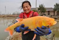 安徽省巢湖渔民捕获罕见金黄色鳙鱼
