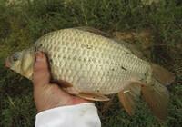 秋季野河钓鲫鱼的技巧