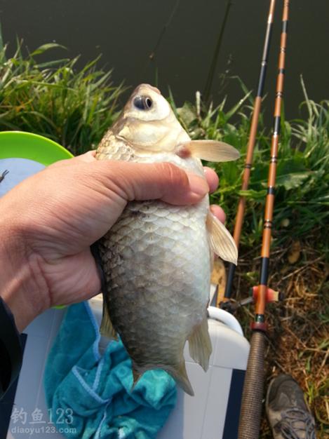 春季野釣鯽魚
