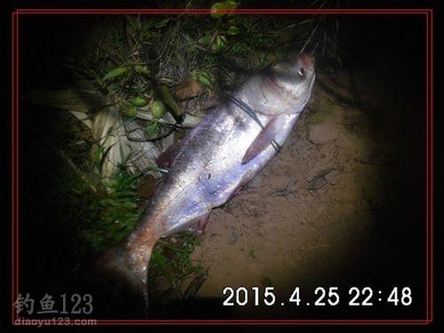 第五条鳙鱼