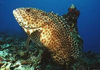 使用黑斑软鱼拟饵路亚米级石斑