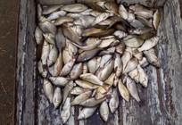 夏釣張莊水庫收獲百尾鯽魚