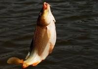 秋季钓鲤鱼技巧大全