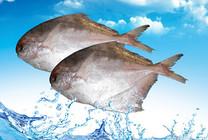 鱼型路亚钓带鱼鲳鱼技法