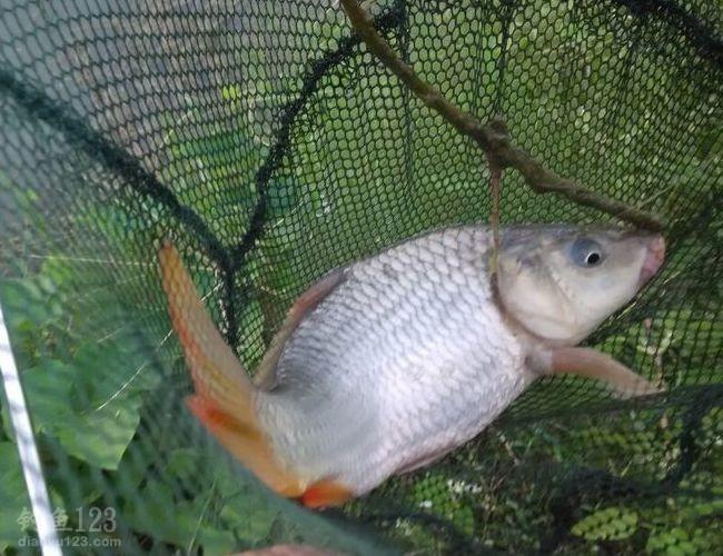 还有大的鱼泡,应该还有不少大鱼可钓