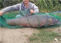 盛夏泼河水库玉米重窝库钓巨青巨鲤