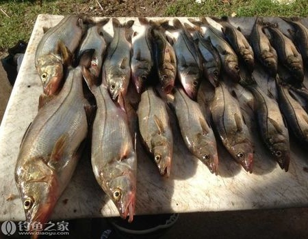 海钓鲈鱼魔鬼鱼