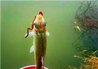使用中藥類魚餌釣魚時的核心技巧(上)