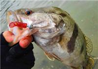 水库路亚鳜鱼的实战经验和技巧(上)