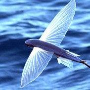 游泳的fly鱼