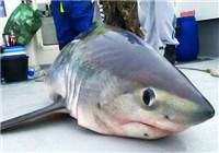 英國釣友意外釣到重達400斤鼠鯊