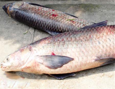 秋季在水库垂钓青鱼的技巧和方法