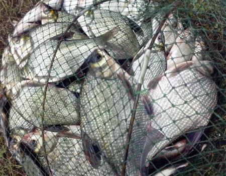 端午節大風天野河釣鳊魚