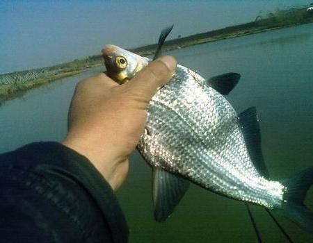 冬天大风天鱼塘手竿钓鳊鱼