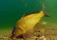 《垂钓对象鱼视频》水下实拍大鲤鱼吃饵全程视频