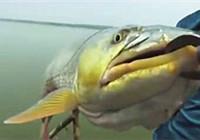 《路亚钓鱼视频》 大鳡鱼洗鳃就是这么刺激!