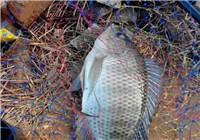 分享夏季钓罗非鱼的实战技巧(二)
