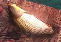《垂钓对象鱼视频》 男子夏季水上钓黄金鲤鱼