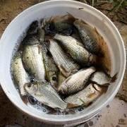【技巧—滑釣鯽魚】夏季高溫低氣壓時如何釣鯽魚