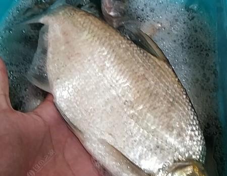 觀洞玉米作釣,巴掌非爆護,收獲驚喜魚種