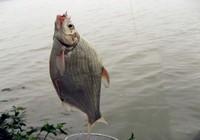 秋季野钓大鳊鱼技巧!
