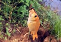 秋釣鯽魚,需要注意這幾個問題!